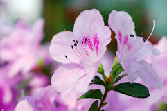 Close-Up of Azalea Flower. Royalty Free Stock Photography