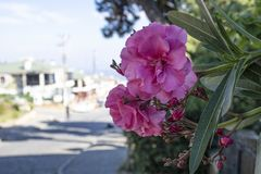 Close-up of azalea shrub flower. Street view and blurred background in sunny day royalty free stock image