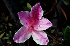 Close-up of a  azaleia  flower Stock Image