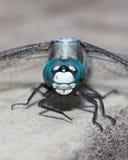 Close-up azul da libélula Foto de Stock Royalty Free