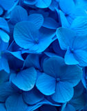 Close up azul do Hortensia da hortênsia Imagem de Stock