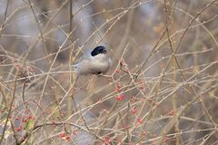 Azure-winged Magpie Stock Images