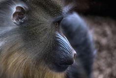 Close up of a Baboon. Monkey Portrait royalty free stock photography