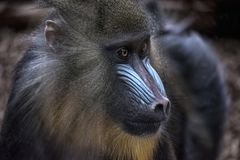 Close up of a Baboon. Monkey Portrait stock photos