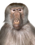 Close-up on a Baboon's head - Simia hamadryas. In front of a white background royalty free stock photo