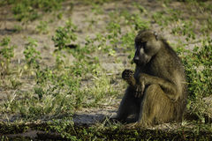 Close up of Baboon sitting by himself and eating in Botswana wildlife preserve Stock Image