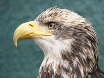 Close-up Baby Bald Eagle Stock Photo