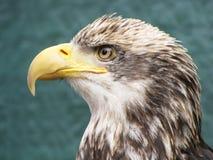 Close-up Baby Bald Eagle. A close up head shot of a juvenile bald eagle stock photo