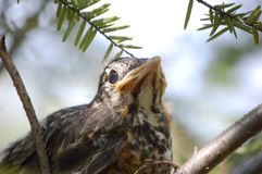 Close up of baby bird Royalty Free Stock Images