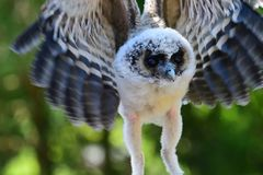Baby brown wood owl strix leptogrammica. Close up of a baby brown wood owl strix leptogrammica in flight royalty free stock image