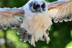 Baby brown wood owl strix leptogrammica. Close up of a baby brown wood owl strix leptogrammica in flight royalty free stock photo