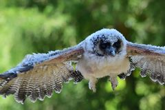 Baby brown wood owl strix leptogrammica. Close up of a baby brown wood owl strix leptogrammica in flight stock images