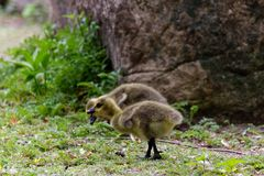 Close-up on baby Canadian geese picking the ground. For food royalty free stock photo