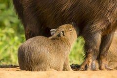 Close-up of Baby Capybara Nursing Stock Images