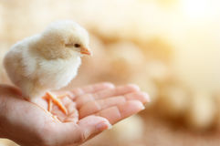 Close up baby chick Stock Image