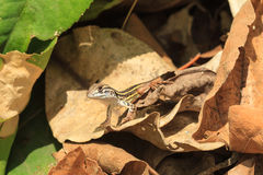 A close up of baby Common Butterfly Lizard on the dried leaves Stock Photography