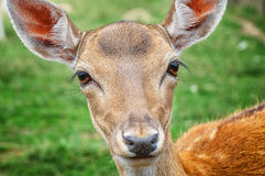Close-up of baby deer stock photography