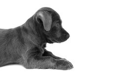 Close up baby dirty dog black color on white background, selecti Stock Photos