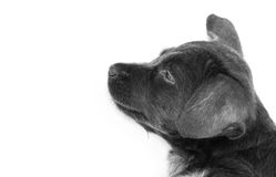 Close up baby dirty dog black color on white background, selecti Stock Photography