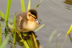 Portrait of a duckling standing in the water stock photos