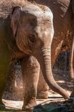 Close-up of a baby Elephant. An intimate portrait of a young baby african elephant being sprinkled by water stock image