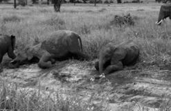 Baby elephant playing in black and white royalty free stock photography