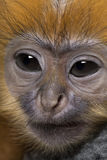 Close-up of a baby Francois Langur Stock Image