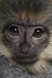 Close-up of a baby Francois Langur Royalty Free Stock Photo