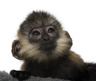 Close-up of a baby Francois Langur. (4 months Royalty Free Stock Image