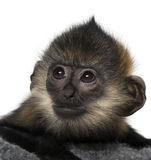 Close-up of a baby Francois Langur Royalty Free Stock Photography