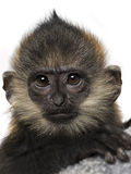 Close-up of a baby Francois Langur (4 months) Royalty Free Stock Images