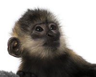 Close-up of a baby Francois Langur (4 months) Stock Photography