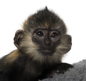 Close-up of a baby Francois Langur (4 months) Royalty Free Stock Image
