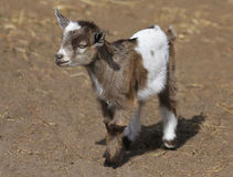 Close Up of Baby Goat Royalty Free Stock Images