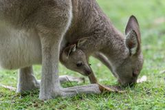 Kangaroo with a baby kangaroo. Close-up of a baby kangaroo in a kangaroo pocket Royalty Free Stock Photos