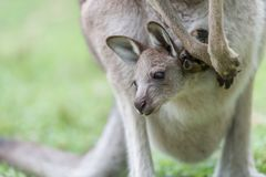 Kangaroo with a baby kangaroo. Close-up of a baby kangaroo in a kangaroo pocket Royalty Free Stock Photo