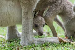 Kangaroo with a baby kangaroo. Close-up of a baby kangaroo in a kangaroo pocket royalty free stock photography