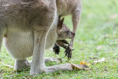 Kangaroo with a baby kangaroo. Close-up of a baby kangaroo in a kangaroo pocket Royalty Free Stock Image