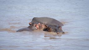 Baby And Mother Hippopotamus Relax Together In The River African Reserve
