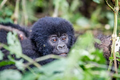 Close up of a baby Mountain gorilla. Stock Image