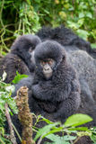 Close up of a baby Mountain gorilla. Royalty Free Stock Photography