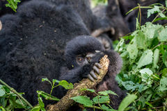 Close up of a baby Mountain gorilla. Stock Photo