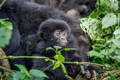 Close up of a baby Mountain gorilla. stock images
