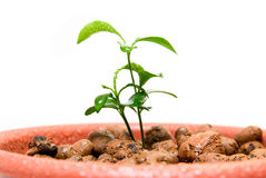 Close-up of baby plant in small flower pot. Royalty Free Stock Image