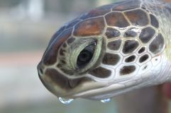 Close up of a baby seaturtle Royalty Free Stock Photo