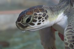 Close up of a baby seaturtle Stock Photo