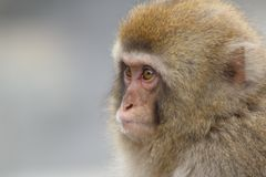 Baby Snow Monkey. A close up of a baby snow monkey in Japan Royalty Free Stock Photography