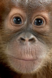 Close-up of baby Sumatran Orangutan Royalty Free Stock Image
