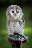 Close up of a baby Tawny Owl Stock Image