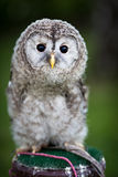 Close up of a baby Tawny Owl Stock Photos